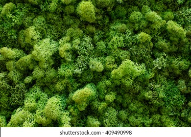 green moss background texture close up. stabilized plants