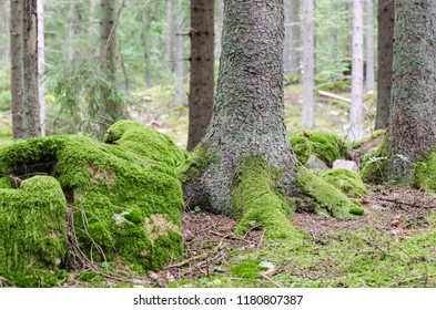 Green moss covered forest ground with mossy stones and roots