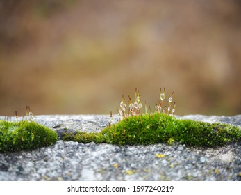 Green moss with drops of dew. Macro lanscape. Haircap moss on a stone against blurred background. Closeup