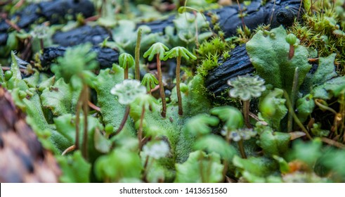 Green moss in the forest, close up. Marchantia polymorpha, known as the common liverwort or umbrella liverwort. Funaria hygrometrica, the bonfire moss or common cord-moss.