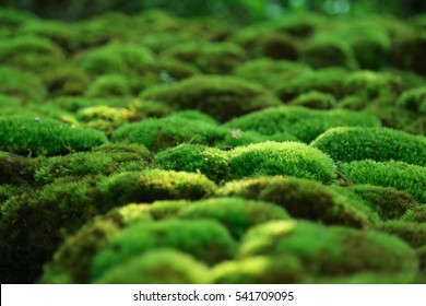 Green moss grown up cover the rough stones in the forrest. Show with macro view. Rocks full of the moss.