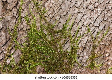 Green moss grows on oak trees in a California forest