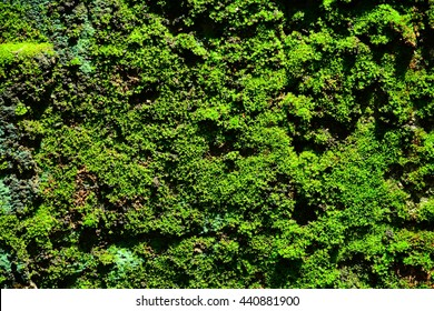 Green moss lichen background on the grungy cement wall texture
