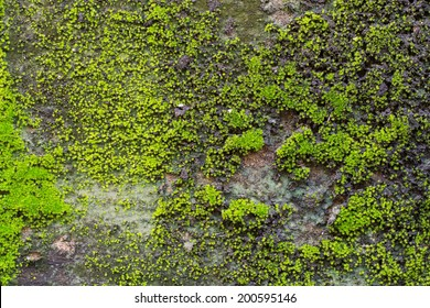 Green moss on old wall.