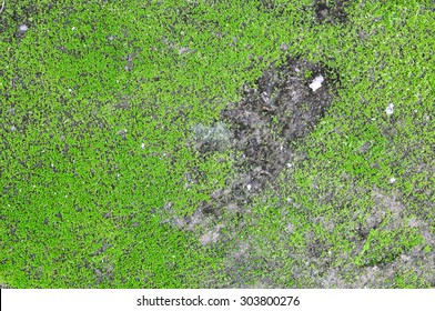 Green moss on old wall, Moss on the wall,Closeup of Moss on the wall