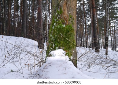 Green moss on the pine tree. Kalinowski forest park, Ekaterinburg, Sverdlovsk oblast, Russia.