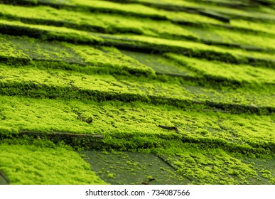 green moss on roof tiles