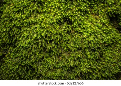 Green moss pattern, texture, background. closeup, macro