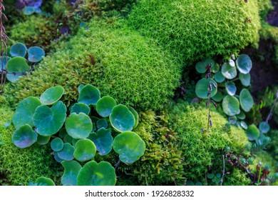 Moisés verde con hojas de trébol redondeadas