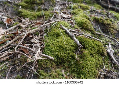Green moss in spring with sticks, leaves and twigs on forest floor in Midwest