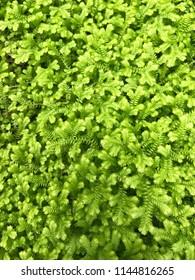 Green moss texture closeup