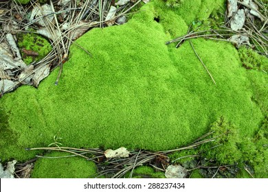 Green Moss in the Woods