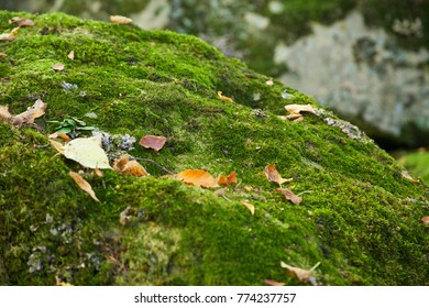 Green moss with yellow leaves on a rock and selective focus