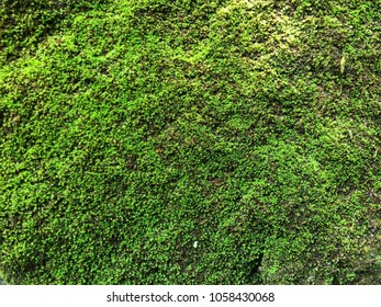 Green mosses background on the afternoon, moss background