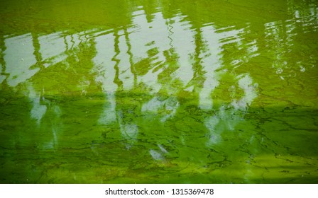 Green mosses floating on the water of a pond