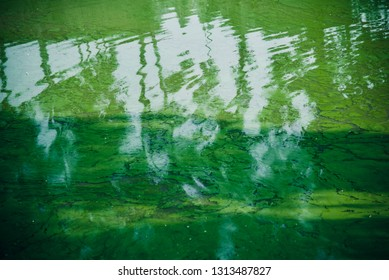 Green mosses floating in the water of a pond unique photo