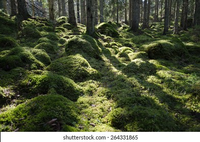 Green mossy backlit coniferous forest with tree trunks and mossy stones on ground. From the province Smaland in Sweden.