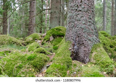 Green mossy forest floor in a spruce tree forest