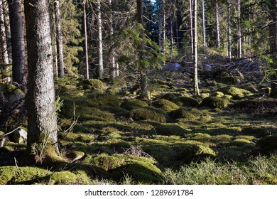 Green mossy ground in a coniferous forest