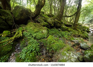 Green mossy rock and stones under forest in Kumamoto