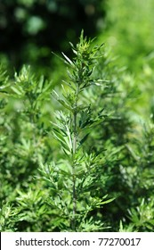 Green mugwort branch and leaves close up