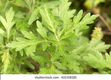 Green  Mugwort's fresh leaves (Artemisia argyi)