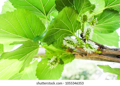 Green Mulberry on tree, Agriculture
