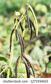 Green Mung bean crop close up in agriculture field ,Mung bean green pods (Vigna radiata) and mung bean leaves on the mung bean stalk