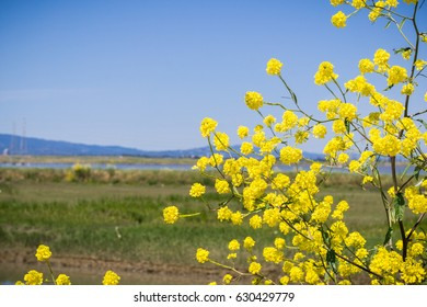 Green mustard blooming on the levees of south San Francisco bay, Mountain View, California