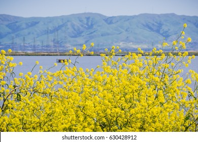Green mustard flowers, Mission Peak in the background, south San Francisco bay, Sunnyvale, California