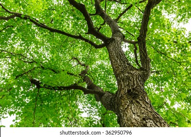 Green natural background of Chinese tallow trees in summer