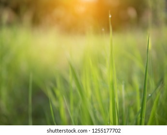 Green natural in the morning with sunray effect and blurred background. Grass filed in blur vission.