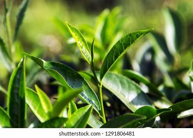 Green Natural selected, Fresh tea leaves in tea farm, mountain tea bushes plantation in Sri Lanka