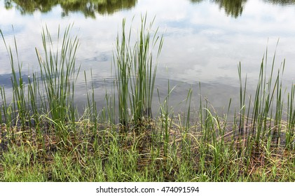 Green nature with cattail in swamp