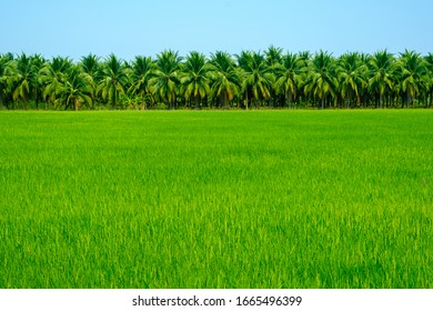 Green nature landscape ,Paddy jasmine rice field and coconut tree farm in Thailand.
