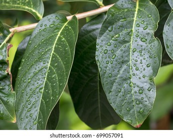 Green nature And the rain drops on the leaves.