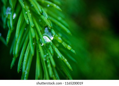 a green needle-like branch of a coniferous tree spruce, on a branch a bright drop of rain
