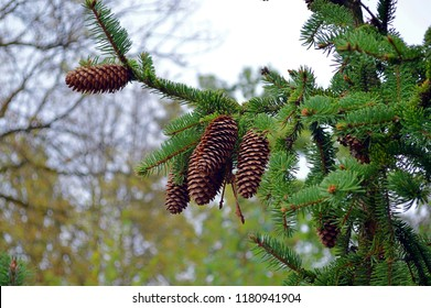 green needles and brown cones at the top of cones spruce (picea abies)