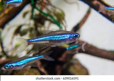 Green Neon Tetra (Paracheirodon simulans) a tropical fish