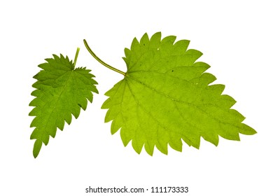 green nettle  isolated on white