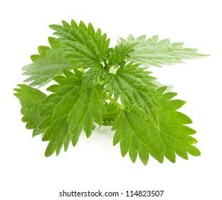 Green nettle isolated. Nettle on the white background. Herb nettle leaf.