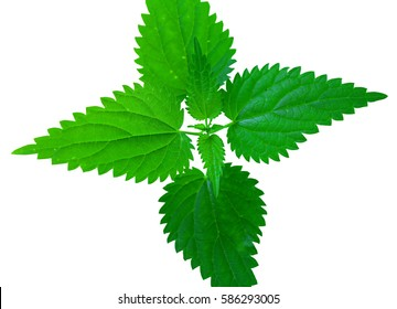 Green nettle isolated on white background. Medicinal plant.