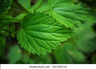 Green nettle leaf close view