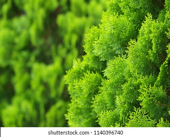 green nice pine fir leaves tree, looks similar to Thuja orientalis Endl., Chimese Arborvitae, Orientali Arborvitae in mountain cold zone THAILAND, under bright sunlight and blur outdoor background