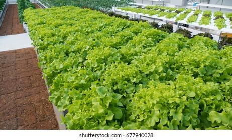 Green oak, Cultivation hydroponic green vegetable in farm plant market