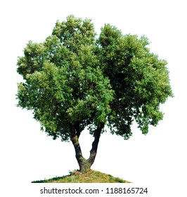 Green oak with double trunk isolated on white background.