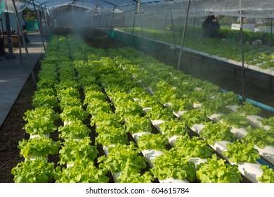 green oak in hydroponic farm