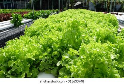 Green Oak- hydroponics vegetable farm in Thailand.