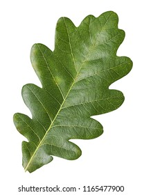 Green Oak Leaf isolated on white background. Clipping Path.