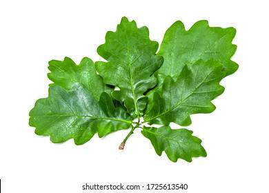 Green oak leaf isolated on white background.